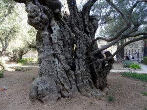 Appold_Ölbaum im Garten Gethsemane
